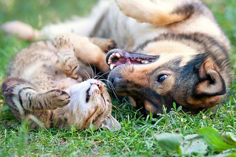 Gewöhne Katze und Hund in drei Schritten aneinander