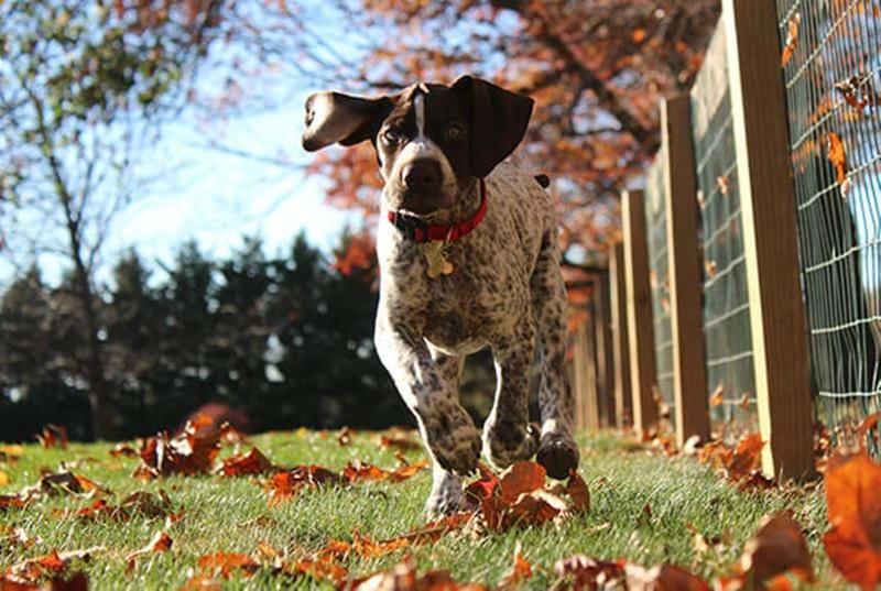 Springande fågelhund