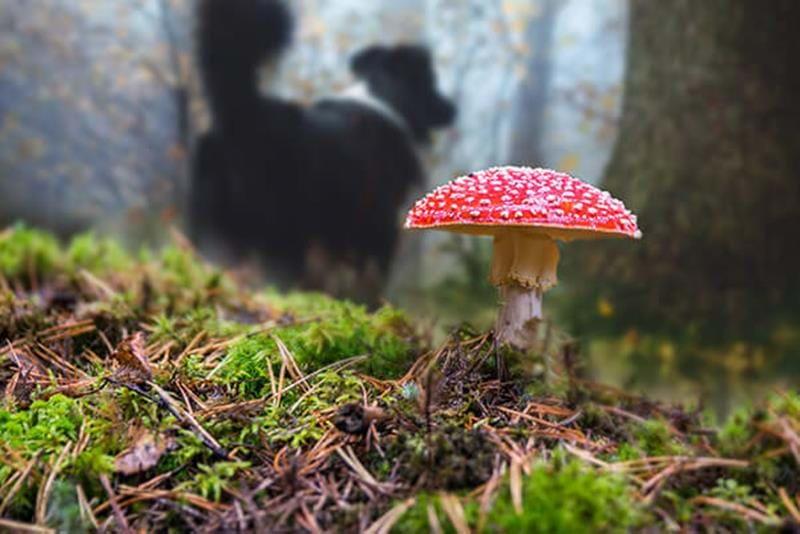 Svampförgiftning hund – se upp i svampskogen