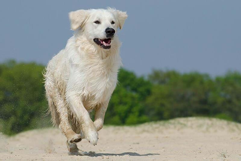 Värmeslag hund – håll hunden sval i sommar