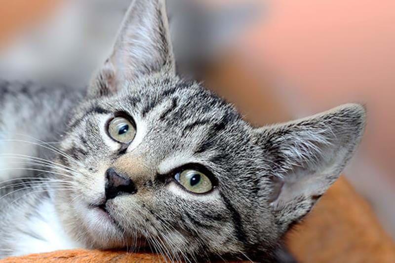 Att kastrera katten har många fördelar