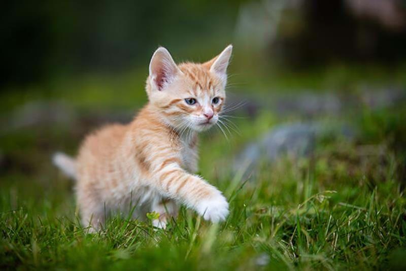 Kattens utveckling på väg mot vuxenlivet