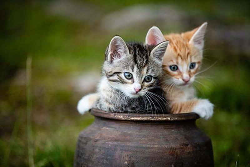 Kattungar – utveckling och socialisering
