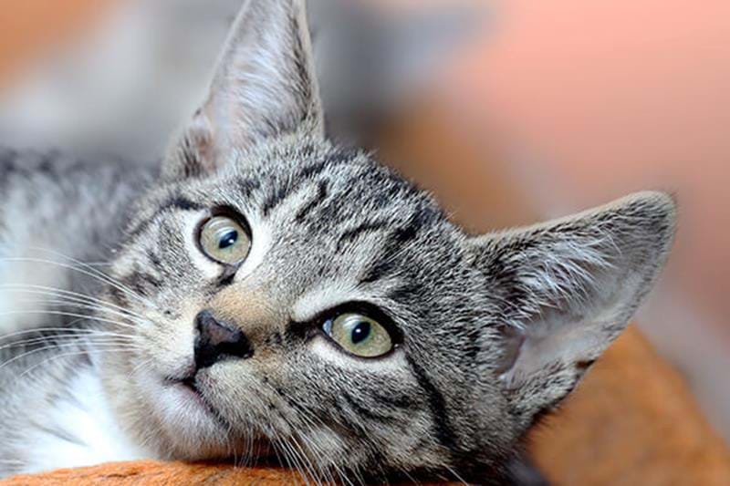 There are many benefits of neutering a cat